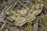 Canadian Melanolophia Moth (6620)