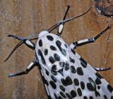 Giant Leopard Moth (8146)