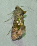 Soybean Looper Moth (8890)
