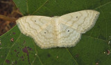 Large Lace-border Moth (7159)