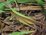 Clip-wing Grasshopper