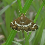 Hawaiian Beet Webworm Moth (5170)
