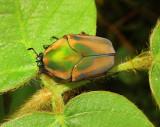 Green June Beetle (June Bug)