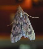 Pink-masked Pyralid Moth (5512)