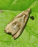 Raspberry Leafroller Moth (2817) Tentative