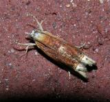 Reddish Phaneta Moth (2928)