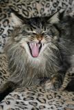 Kitty Boy Yawn