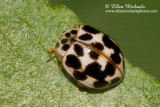 Twenty-spotted Lady Beetle
