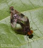 Snipe Flies (mating)