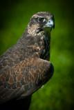 Hawk Watch 2011