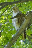 6.  A red-tailed hawk at Olana.