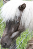18.  One of the dwarf horses next door.