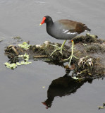 11.  Common Moorhen with a serious red-beak problem.