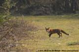 Red FoxVulpes vulpes vulpes