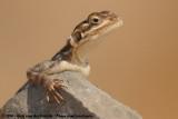 East African Rock Agama  (Oost-Afrikaanse Kolonistenagame)
