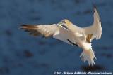 Gannets and Boobies  (Genten)