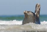 Earless Seals  (Zeehonden)