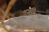 Mice, Rats and Gerbils  (Muizen, Ratten en Gerbils)