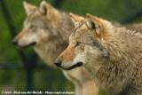 European Grey WolfCanis lupus lupus