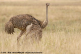 Ostriches  (Struisvogels)