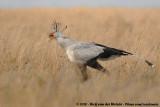 Secretary Birds  (Secretarisvogels)