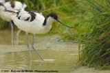 Stilts and Avocets  (Steltkluten en Kluten)
