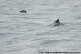 Porpoises  (Bruinvissen)