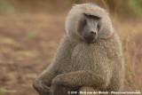 Old World Monkeys  (Apen van de Oude Wereld)