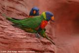 Rainbow Lorikeet  (Regenbooglori)