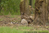 Eurasian Eagle-OwlBubo bubo bubo