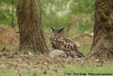 Eurasian Eagle-Owl  (Oehoe)
