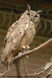 Turkmenian Eagle-OwlBubo bubo turcomanus