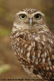 Burrowing Owl  (Holenuil)