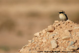 Desert WheatearOenanthe deserti homochroa