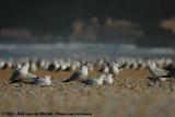 Audouin's Gull  (Audouins Meeuw)