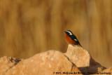 Moussier's RedstartPhoenicurus moussieri