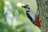 Great Spotted Woodpecker  (Grote Bonte Specht)