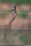 Mousebirds  (Muisvogels)