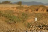 Desert Grey ShrikeLanius elegans elegans
