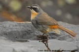 Cape Robin-ChatCossypha caffra caffra