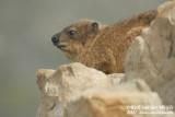 Rock Hyrax  (Rotsklipdas)
