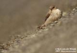 Kaapse Rotszwaluw