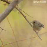 Kleine Kraaghoningzuiger / Southern Double-Collared Sunbird