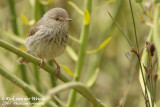Karooprinia / Karoo (Spotted) Prinia