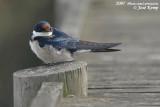 Witkeelzwaluw / White-Throated Swallow