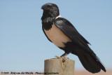 Pied CrowCorvus albus