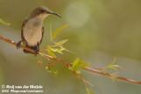 Roethoningzuiger / Dusky Sunbird