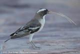Mahaliwever / White-Browed Sparrow-Weaver