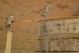 Zwartkopreiger / Black-Headed Heron