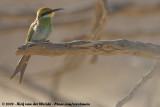 Zwaluwstaartbijeneter / Swallow-Tailed Bee-Eater